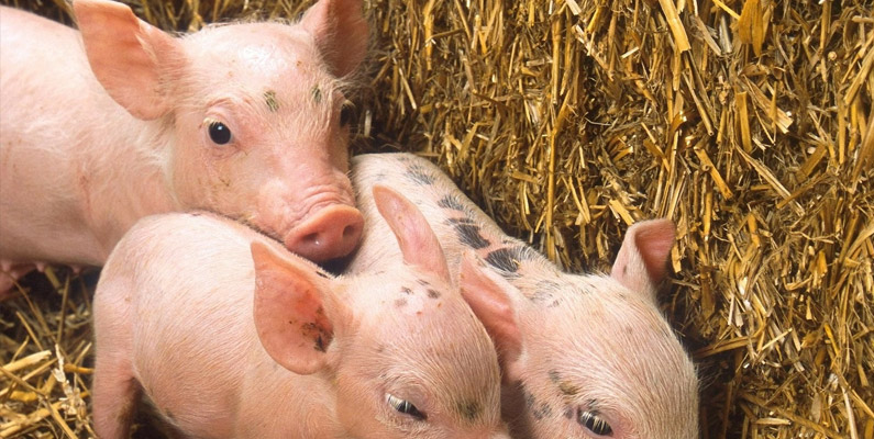 Fattening Your Pigs: Liquid vs. Dry Feeding