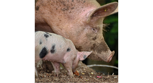 Keeping Pigs Cool in the Summer