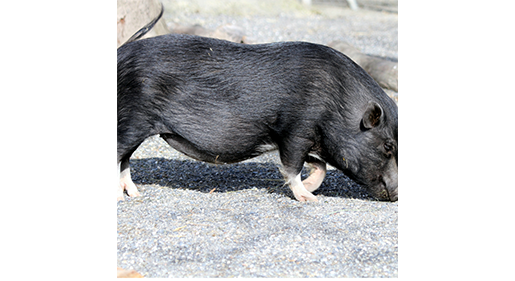 Know the Optimal Pig Feeding System for Your Pigs' Stages of Life