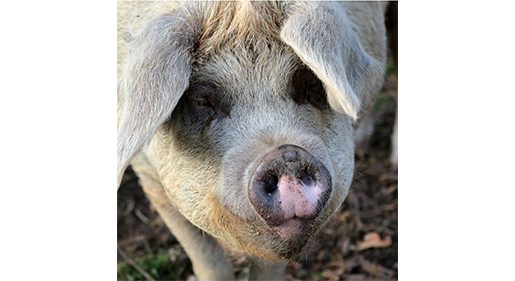 Animal Forward Practices Are Possible on Profitable Pig Farms