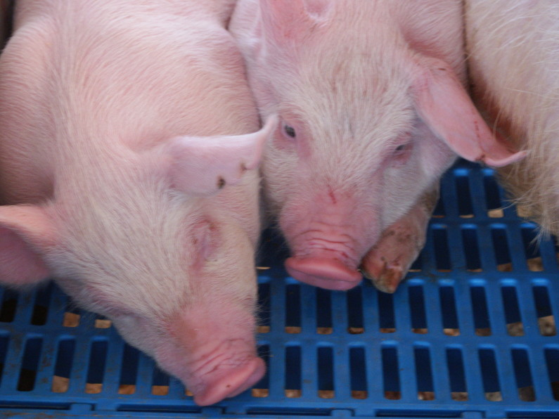 Animal Welfare, Pig Breeding and Castration
